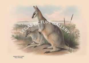 HALMATURUS GREYI -- Greys Wallaby